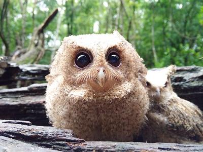 普洱太阳河国家公园救助领角鸮幼鸟