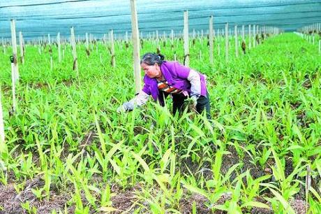 特色生物药种植助农脱贫