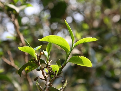 新华网|云南普洱打造普洱茶品牌化发展样本