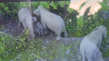 野生亚洲象把江城当家 7年产下5头象宝宝