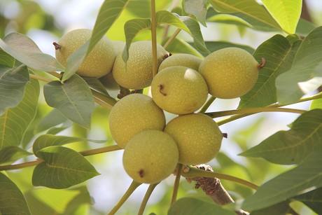 景东核桃芒果品牌价值近4亿元