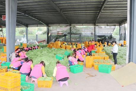 镇沅蔬菜闯入上海市场