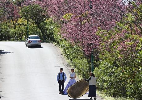 樱花绽放普洱美