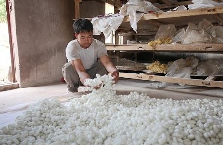 蚕桑产业拓宽古城镇群众致富路