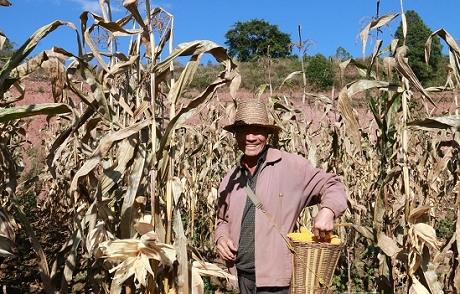 联珠镇烟后种玉米农户增收