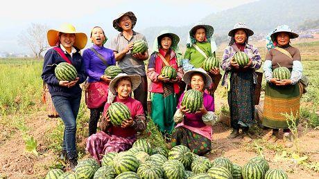 勐根村:西瓜助农增收