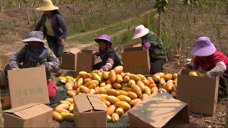 漫海村:木瓜喜获丰收