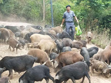 """产业致富:藏香猪""""拱出""""致富路"""