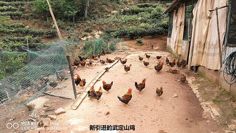 """山碧村:""""一村一品""""养殖林下土鸡"""