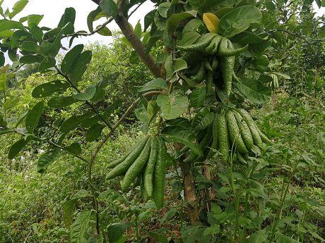 车沙村:农户种佛手柑带来致富新希望