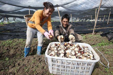 大球盖菇助农增收致富