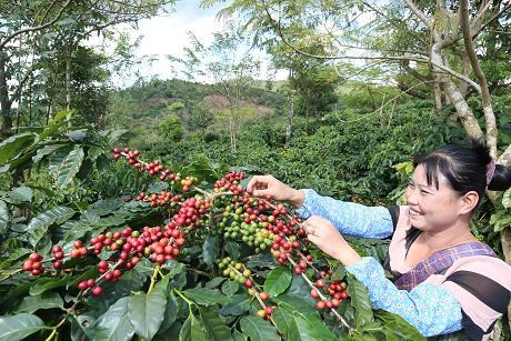 普洱市45万亩咖啡园完成生态化改造