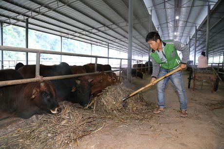 景谷:订单肉牛养殖业带动贫困户增收脱贫