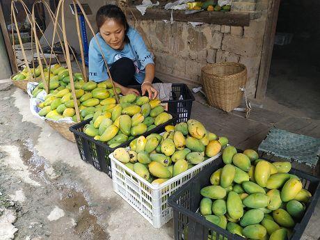 景谷芒果大量上市
