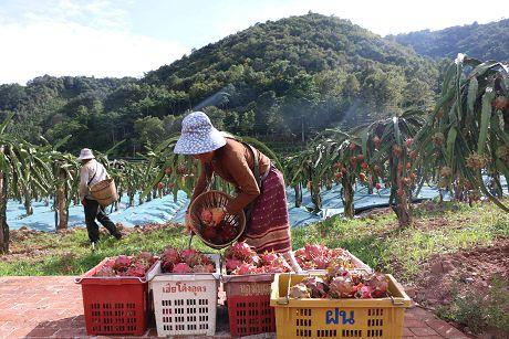 勐马镇:火龙果丰收助农增收