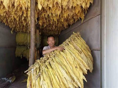 """会良河村:烤烟成为脱贫致富的""""金叶子"""""""