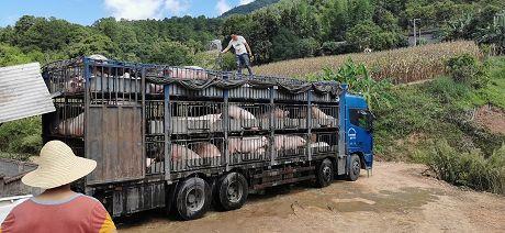 农发行乐虎国际娱乐官网分行营业部发放2000万元贷款提高生猪产能