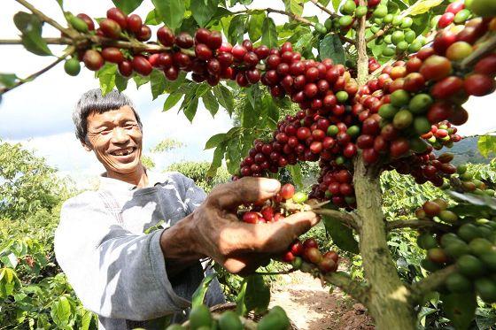 普洱:咖农优化加工工艺破解污水处理难题
