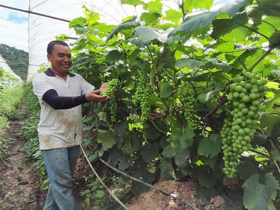 葡萄熟了农民笑了