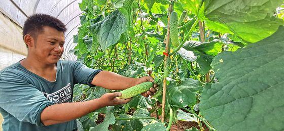 思茅区倚象镇秋季蔬菜大量上市