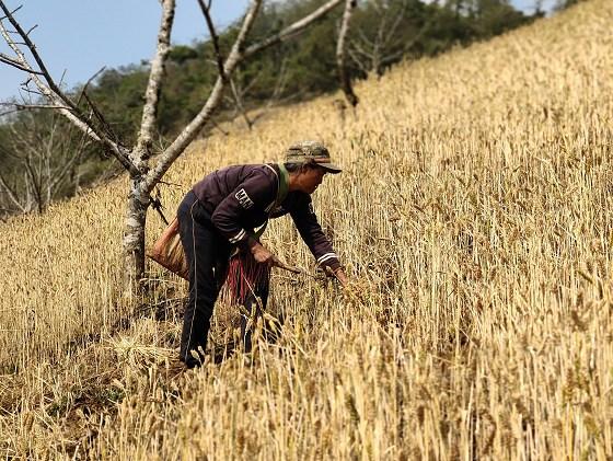 中课镇:核桃地里小麦丰收 林下套种促农增收